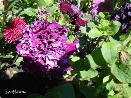 Петунии! Какой только расцветки только нет! И махровые, и не махровые...  фото 7