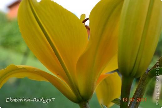 Лилии на дачке (с макро фото) фото 5