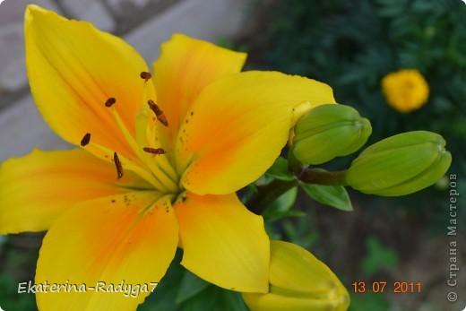 Лилии на дачке (с макро фото) фото 6
