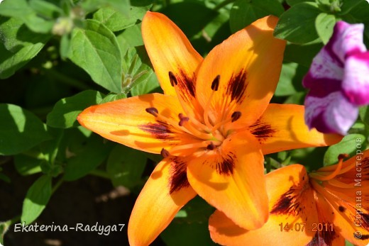 Лилии на дачке (с макро фото) фото 10