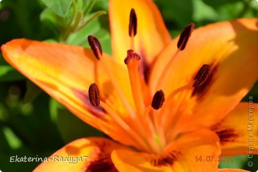 Лилии на дачке (с макро фото) фото 11