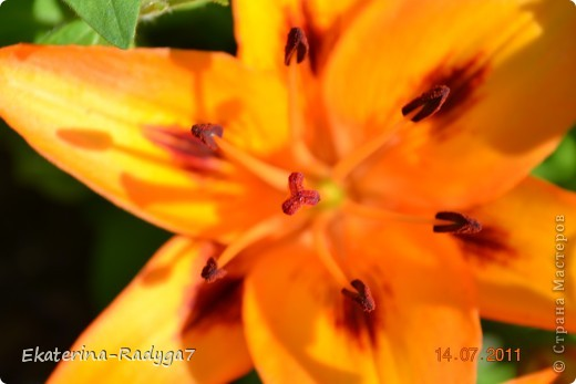 Лилии на дачке (с макро фото) фото 12