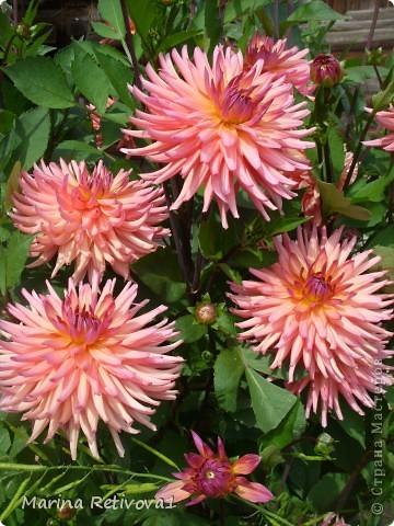 Быстро пролетело лето. Наступил сентябрь. Вместе с ним пришла осень. На наших участках созревает урожай овощей и фруктов, продолжают дарить радость и прекрасное настроение цветы.  Очаровывает  своими крупными колокольчиками неприхотливая петуния. фото 3