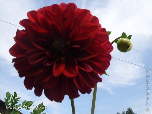 Быстро пролетело лето. Наступил сентябрь. Вместе с ним пришла осень. На наших участках созревает урожай овощей и фруктов, продолжают дарить радость и прекрасное настроение цветы.  Очаровывает  своими крупными колокольчиками неприхотливая петуния. фото 5
