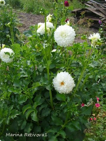 Быстро пролетело лето. Наступил сентябрь. Вместе с ним пришла осень. На наших участках созревает урожай овощей и фруктов, продолжают дарить радость и прекрасное настроение цветы.  Очаровывает  своими крупными колокольчиками неприхотливая петуния. фото 4