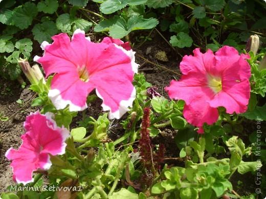 Быстро пролетело лето. Наступил сентябрь. Вместе с ним пришла осень. На наших участках созревает урожай овощей и фруктов, продолжают дарить радость и прекрасное настроение цветы.  Очаровывает  своими крупными колокольчиками неприхотливая петуния. фото 1