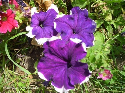 Быстро пролетело лето. Наступил сентябрь. Вместе с ним пришла осень. На наших участках созревает урожай овощей и фруктов, продолжают дарить радость и прекрасное настроение цветы.  Очаровывает  своими крупными колокольчиками неприхотливая петуния. фото 2