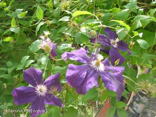 Быстро пролетело лето. Наступил сентябрь. Вместе с ним пришла осень. На наших участках созревает урожай овощей и фруктов, продолжают дарить радость и прекрасное настроение цветы.  Очаровывает  своими крупными колокольчиками неприхотливая петуния. фото 7