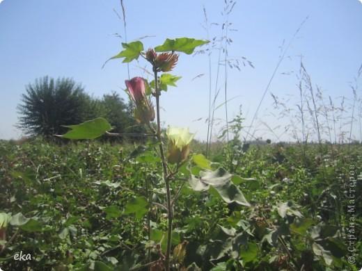 У нас целые поля хлопка. Я решила сделать фоторепортаж об этом удивительном растении.  фото 10