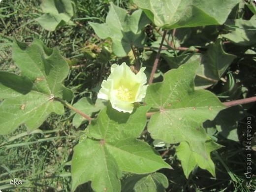У нас целые поля хлопка. Я решила сделать фоторепортаж об этом удивительном растении.  фото 11