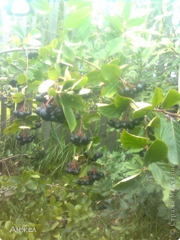 Черноплодная рябина. Неизменно  из года в год с урожаем. Но варенье из неё мало кто любит из-за сухости и терпкости.  Хочу поделится нашим старым семейным рецептом, в котором редко кто узнаёт черноплодку ) Попробуйте, может и вам он понравится)  Для варенья требуется:  1кг.черноплодной рябины,  1кг. зеленых маленьких помидор (тех,которые уже последние на ветках и шансов вызреть у них нет )  1кг.сахарного песка,  20листьев вишни фото 1