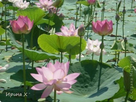 Недалеко от села где я живу, есть озеро Байкал, названное так потому, наверное, что очертаниями похоже на общеизвестное. В июле - авгусе там цветут лотосы. В нашей семье есть традиция - выезжать и любоваться этими волшебными цветами. Предлагаю желающим присоединиться... фото 1