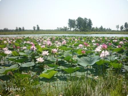 Недалеко от села где я живу, есть озеро Байкал, названное так потому, наверное, что очертаниями похоже на общеизвестное. В июле - авгусе там цветут лотосы. В нашей семье есть традиция - выезжать и любоваться этими волшебными цветами. Предлагаю желающим присоединиться... фото 4
