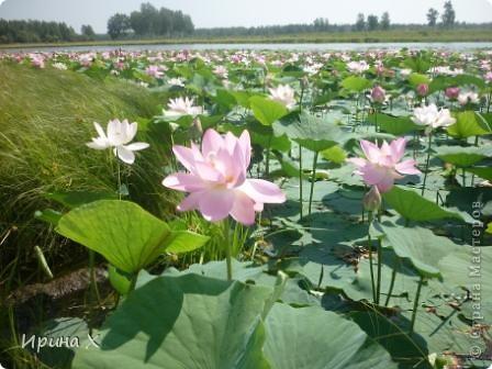 Недалеко от села где я живу, есть озеро Байкал, названное так потому, наверное, что очертаниями похоже на общеизвестное. В июле - авгусе там цветут лотосы. В нашей семье есть традиция - выезжать и любоваться этими волшебными цветами. Предлагаю желающим присоединиться... фото 5
