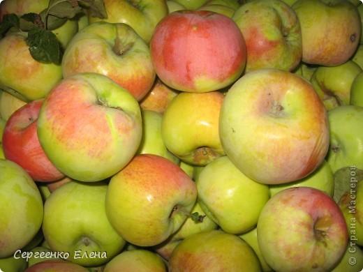 Яблок в этом году в садах очень много. Решила я написать натюрморт.  Разложила красиво яблоки, начала рисовать. Уж больно они сладкие, сочные! Пишу, а так и хочется откусить! Решила сначала одно яблочко съесть, потом второе, так незаметно, почти все и съела. Вкуснотища! Здесь нарисованы яблоки двух сортов: жигулёвское и уэлси. Только закончила картину, сразу отправила на выставку самодеятельных художников в областную картинную галерею.  фото 8