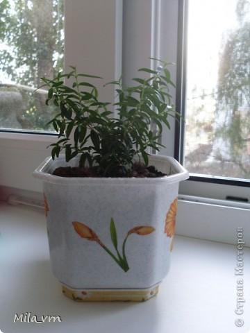 Такая вот небольшая (пока) коллекция плошечек с цветами скоро будет украшать мое окошко... фото 9
