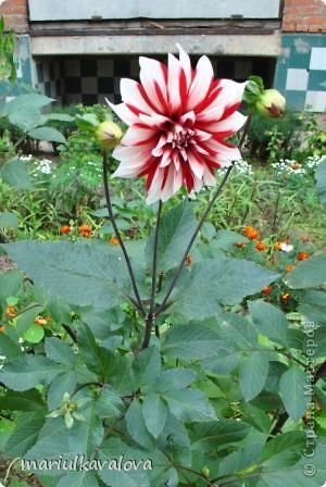 Сортовые лилии фото 2