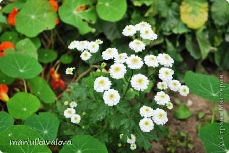 Сортовые лилии фото 3