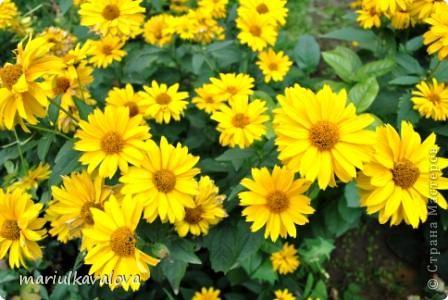 Сортовые лилии фото 5