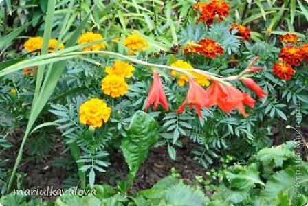 Сортовые лилии фото 8