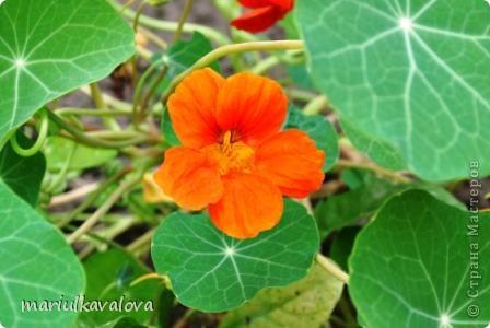 Сортовые лилии фото 6