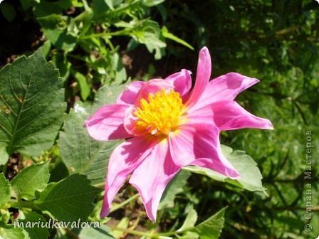 Сортовые лилии фото 11