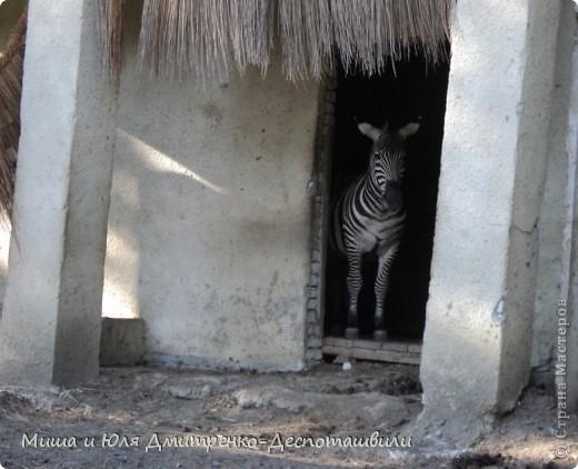 Тбилисский зоопарк встретил нас множеством запретов с юмором )) К сожалению всех животных зоопарка мы здесь представить не сможем, так как удачное фото сделать было довольно непросто. Так за кадром остались обезьяны, волки, шакалы, яки, олени, дикобразы...  фото 2