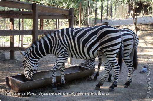 Тбилисский зоопарк встретил нас множеством запретов с юмором )) К сожалению всех животных зоопарка мы здесь представить не сможем, так как удачное фото сделать было довольно непросто. Так за кадром остались обезьяны, волки, шакалы, яки, олени, дикобразы...  фото 8