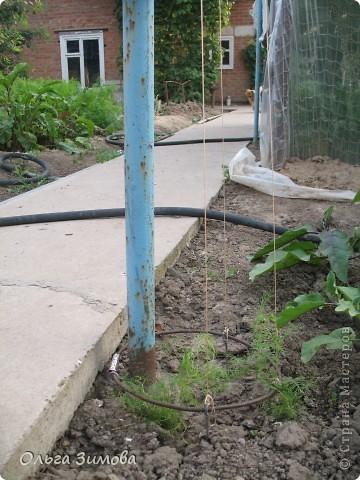 Вот такая кипарисовая аллея выросла у меня к концу лета. Так я замаскировала подставки под газовую трубу, которая идёт в баню. фото 2