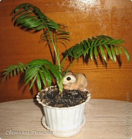 В последнее время всё больше тяготею к декоративнолистным комнатным растениям.Алоказия-родина тропическая Азия.Довольно редкое растение.С очень крупными(30-40см.в длину)овально-стреловидными листьями на сочных длинных черешках. фото 15