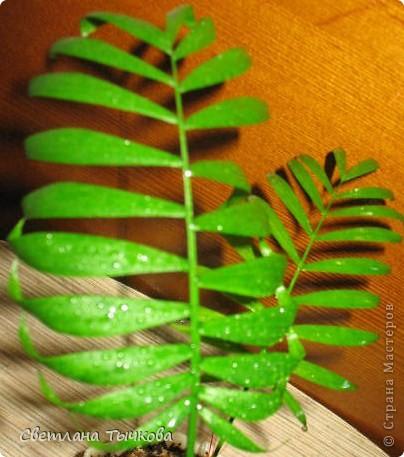 В последнее время всё больше тяготею к декоративнолистным комнатным растениям.Алоказия-родина тропическая Азия.Довольно редкое растение.С очень крупными(30-40см.в длину)овально-стреловидными листьями на сочных длинных черешках. фото 16