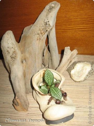 В последнее время всё больше тяготею к декоративнолистным комнатным растениям.Алоказия-родина тропическая Азия.Довольно редкое растение.С очень крупными(30-40см.в длину)овально-стреловидными листьями на сочных длинных черешках. фото 17
