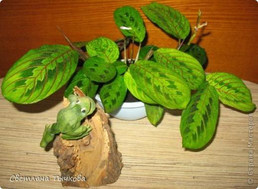 В последнее время всё больше тяготею к декоративнолистным комнатным растениям.Алоказия-родина тропическая Азия.Довольно редкое растение.С очень крупными(30-40см.в длину)овально-стреловидными листьями на сочных длинных черешках. фото 9