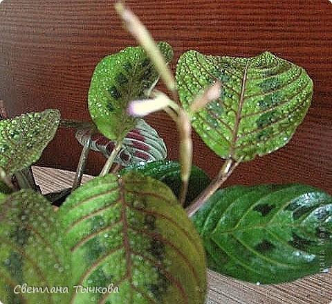 В последнее время всё больше тяготею к декоративнолистным комнатным растениям.Алоказия-родина тропическая Азия.Довольно редкое растение.С очень крупными(30-40см.в длину)овально-стреловидными листьями на сочных длинных черешках. фото 10