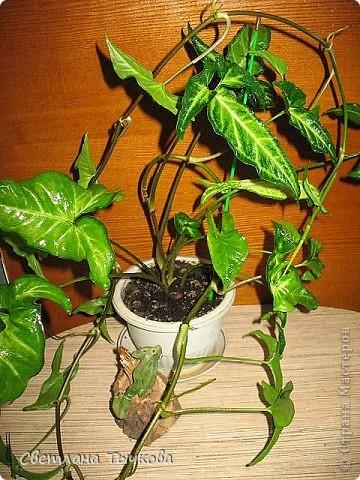 В последнее время всё больше тяготею к декоративнолистным комнатным растениям.Алоказия-родина тропическая Азия.Довольно редкое растение.С очень крупными(30-40см.в длину)овально-стреловидными листьями на сочных длинных черешках. фото 11