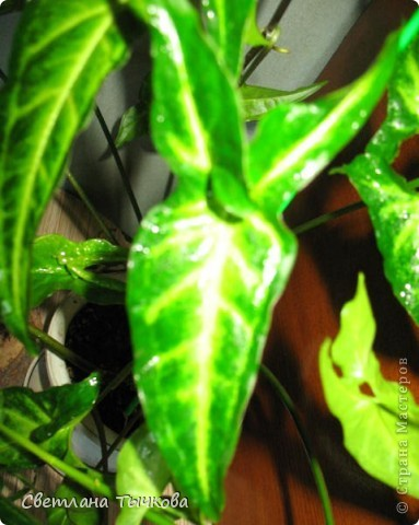 В последнее время всё больше тяготею к декоративнолистным комнатным растениям.Алоказия-родина тропическая Азия.Довольно редкое растение.С очень крупными(30-40см.в длину)овально-стреловидными листьями на сочных длинных черешках. фото 12