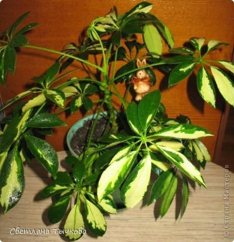 В последнее время всё больше тяготею к декоративнолистным комнатным растениям.Алоказия-родина тропическая Азия.Довольно редкое растение.С очень крупными(30-40см.в длину)овально-стреловидными листьями на сочных длинных черешках. фото 20