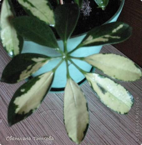 В последнее время всё больше тяготею к декоративнолистным комнатным растениям.Алоказия-родина тропическая Азия.Довольно редкое растение.С очень крупными(30-40см.в длину)овально-стреловидными листьями на сочных длинных черешках. фото 21