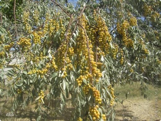 По дороге на пасеку растёт много деревьев джиды. фото 17
