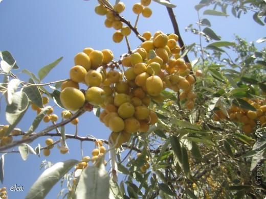 По дороге на пасеку растёт много деревьев джиды. фото 19