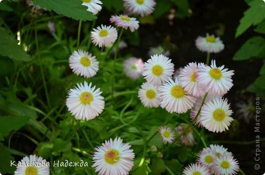 Наконец дошли руки до фотографий. Мои любимые цветы!!!С весны до осени! фото 9