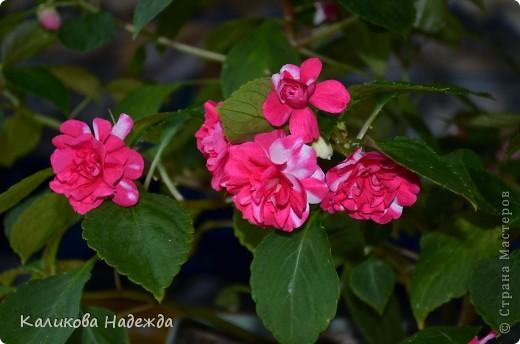 Наконец дошли руки до фотографий. Мои любимые цветы!!!С весны до осени! фото 14