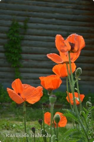 Наконец дошли руки до фотографий. Мои любимые цветы!!!С весны до осени! фото 12