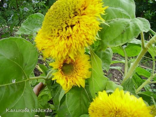 Наконец дошли руки до фотографий. Мои любимые цветы!!!С весны до осени! фото 19