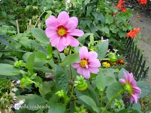 Наконец дошли руки до фотографий. Мои любимые цветы!!!С весны до осени! фото 23