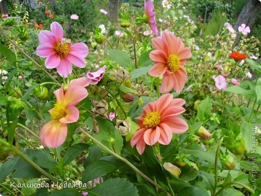 Наконец дошли руки до фотографий. Мои любимые цветы!!!С весны до осени! фото 24