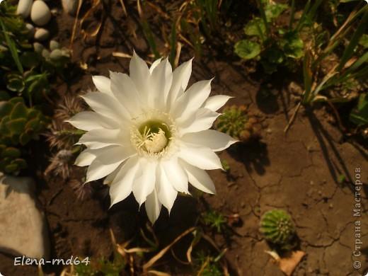 Вот такой кактус уже много лет растет в моем саду и не просто растет ,а зимует при любых минусах.К сожалению я не знаю названий своим кактусам-это,я думаю,какая-то разновидность оппунции. фото 7