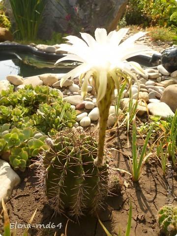 Вот такой кактус уже много лет растет в моем саду и не просто растет ,а зимует при любых минусах.К сожалению я не знаю названий своим кактусам-это,я думаю,какая-то разновидность оппунции. фото 6