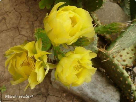 Вот такой кактус уже много лет растет в моем саду и не просто растет ,а зимует при любых минусах.К сожалению я не знаю названий своим кактусам-это,я думаю,какая-то разновидность оппунции. фото 1