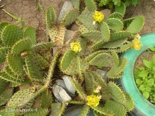 Вот такой кактус уже много лет растет в моем саду и не просто растет ,а зимует при любых минусах.К сожалению я не знаю названий своим кактусам-это,я думаю,какая-то разновидность оппунции. фото 2